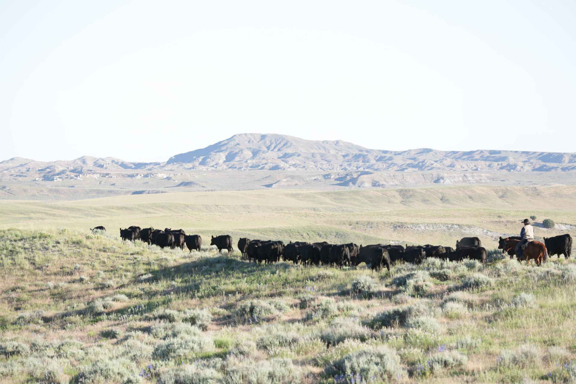 Redland Angus Cattle