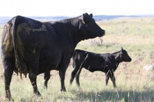 About Redland Angus Production